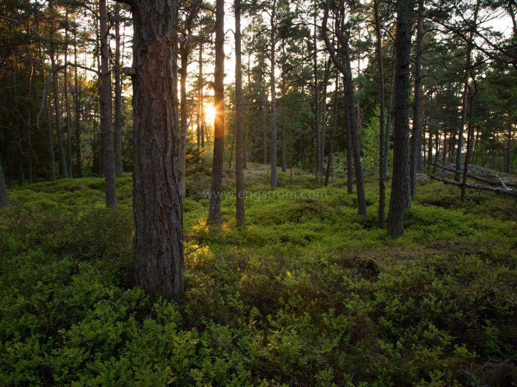 JE_62813, Kvällssol genom träden, Jonas Engström