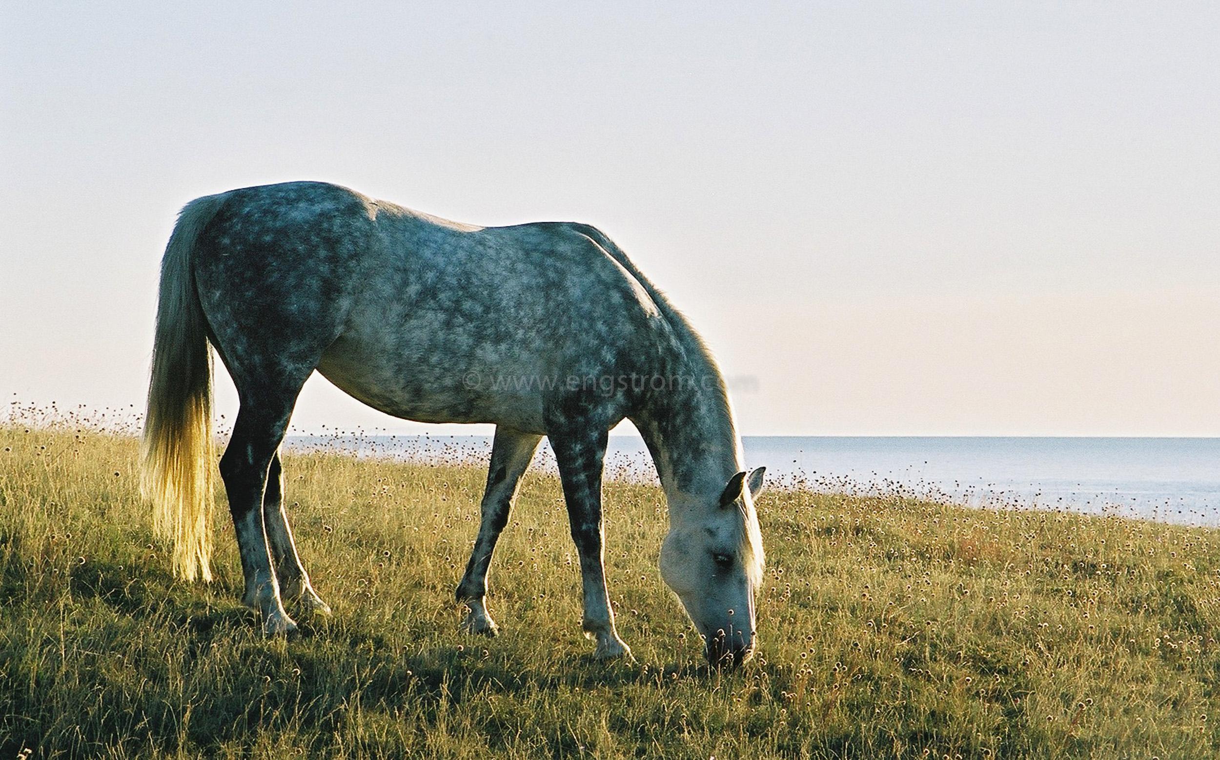 JE0101_14, Hästar på bete på strandängar på Österlen, Jonas Engström