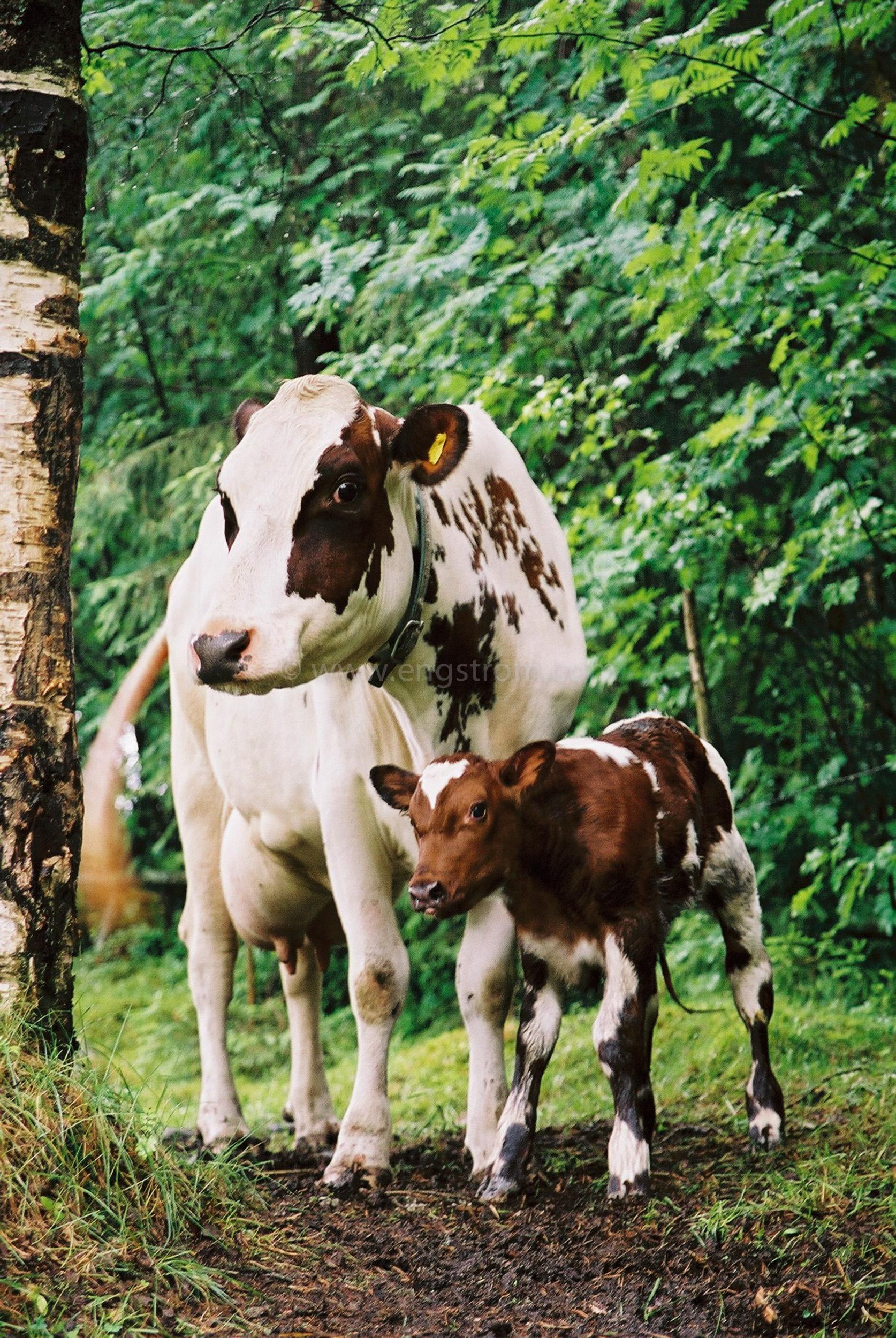 JE0102_06, Ko med nyfödd kalv. Stocksbo sommaren 2001, Jonas Engström