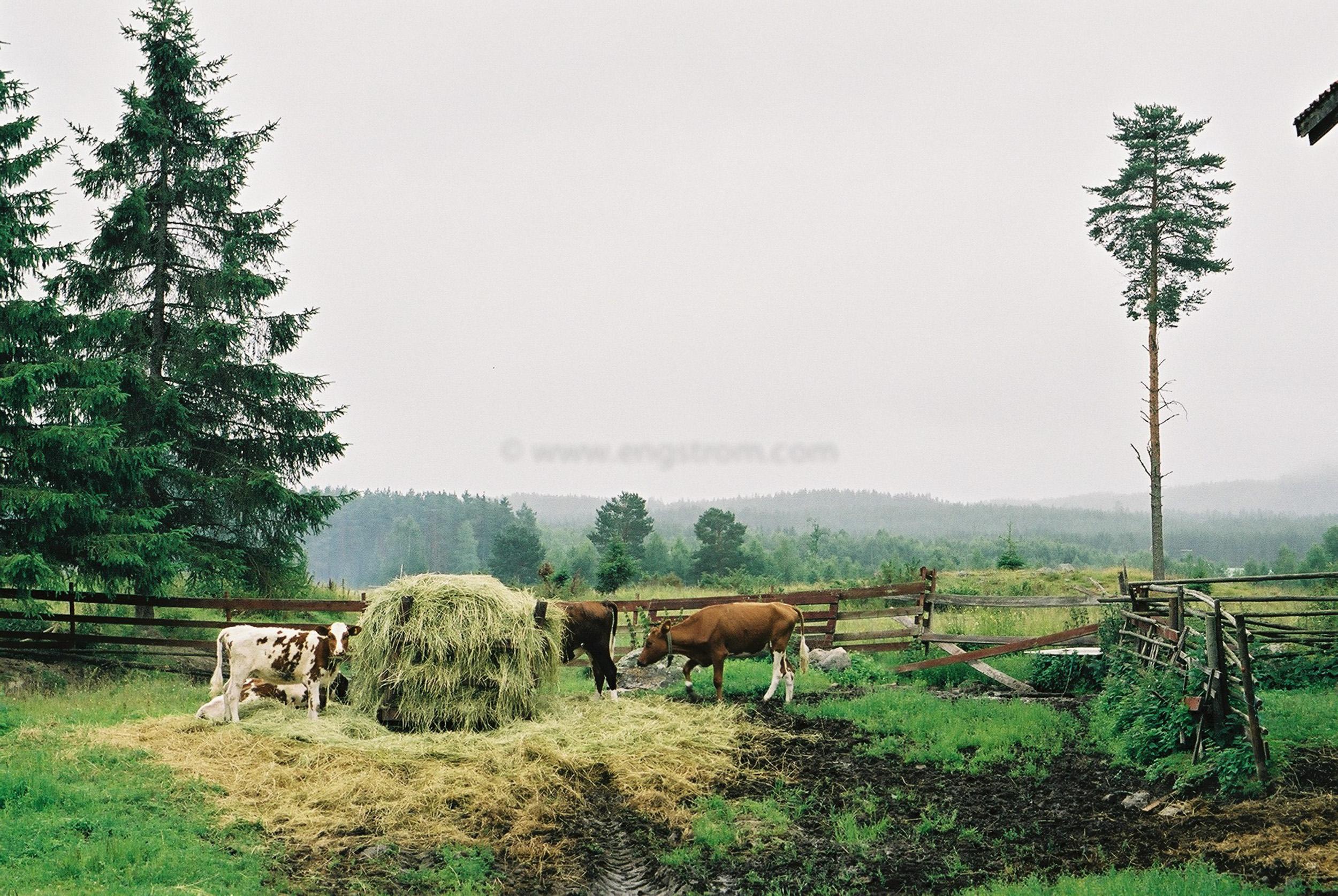 JE0103_01, Kalvar som äter på rundbal med hö. Hälsingland sommaren 2001., Jonas Engström