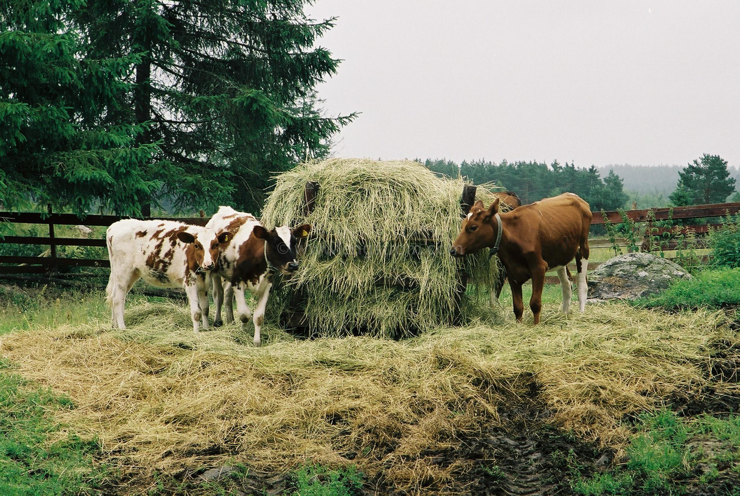 JE0103_05, Kalvar som äter på rundbal med hö. Hälsingland sommaren 2001., Jonas Engström
