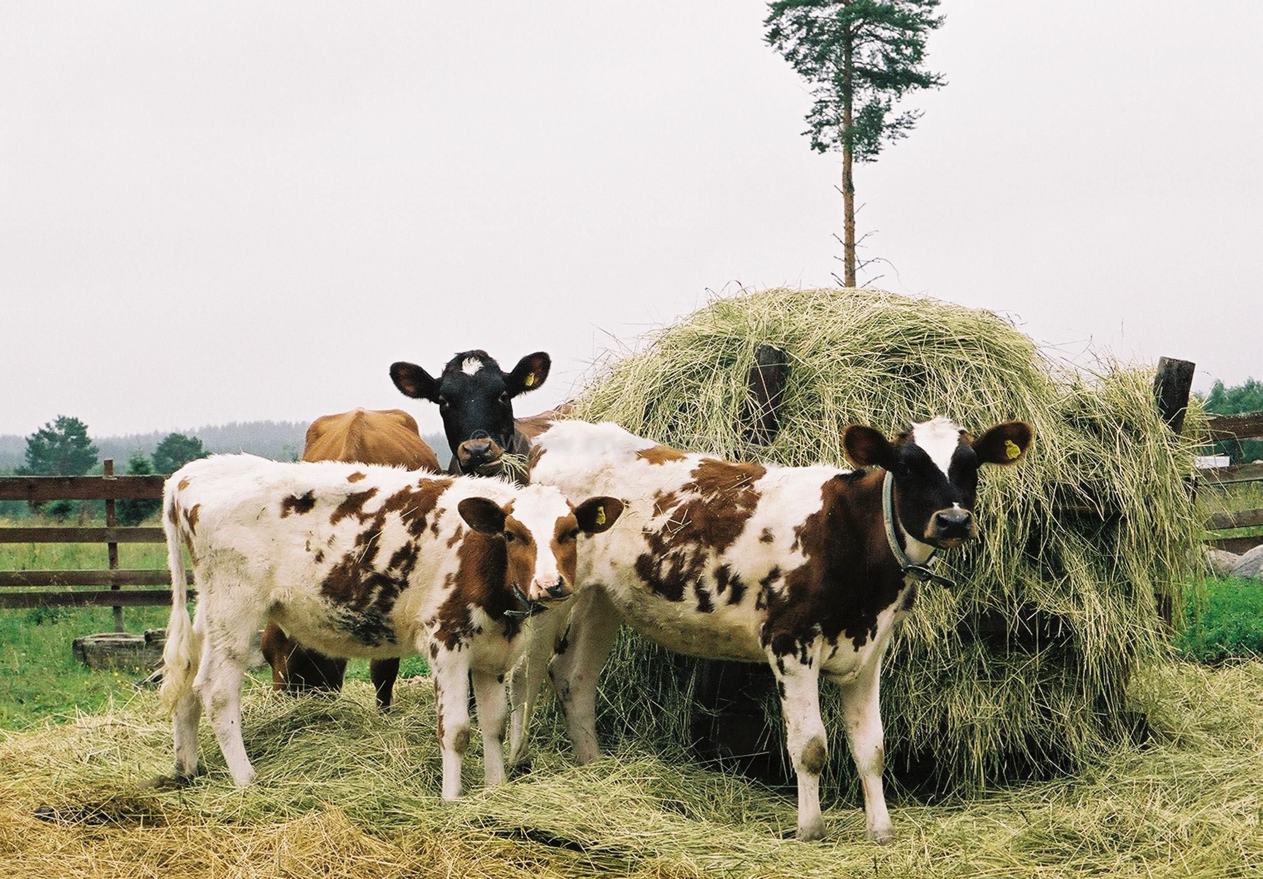 JE0103_08, Kalvar som äter på rundbal med hö. Hälsingland sommaren 2001., Jonas Engström