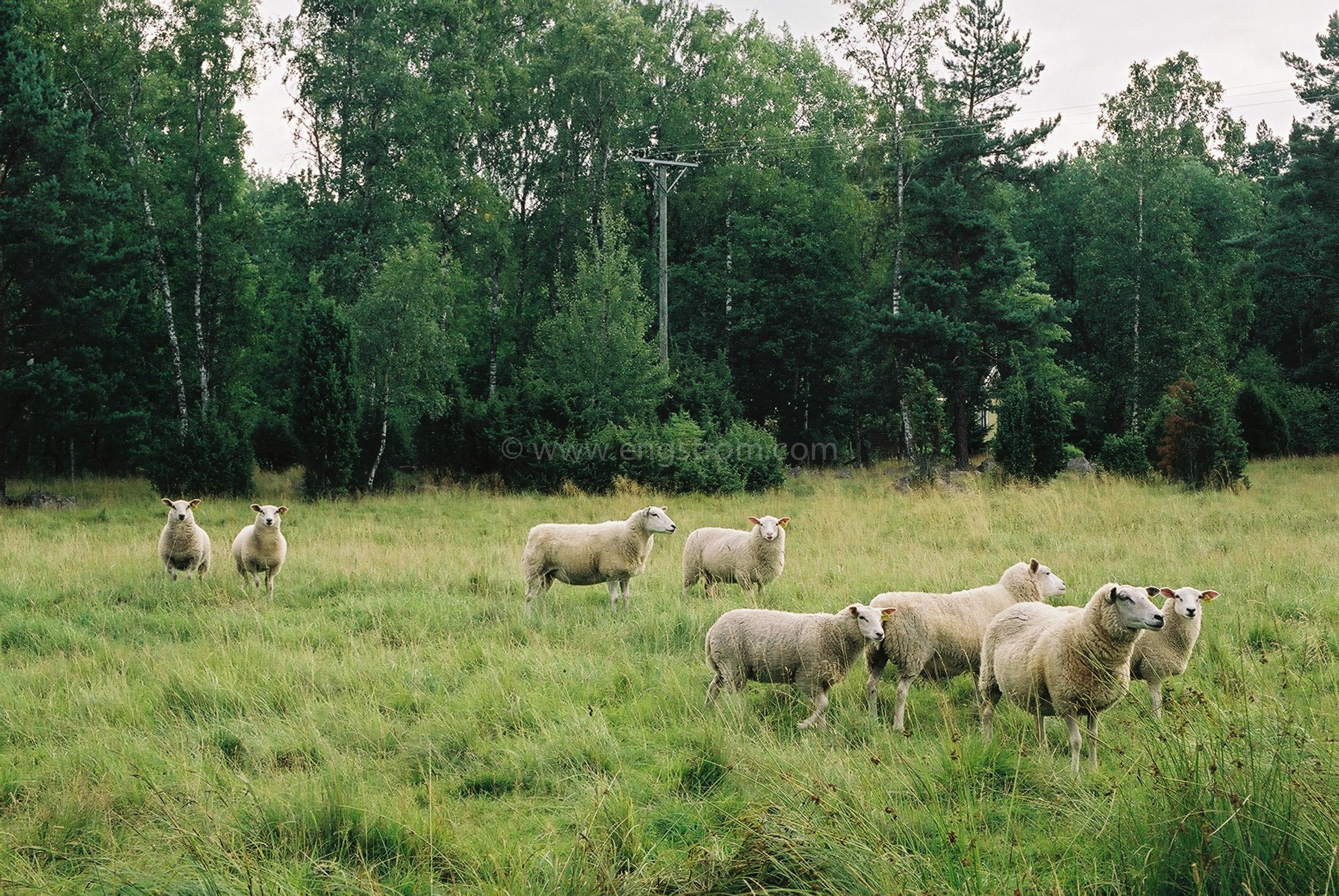 JE0109_30, Får på bete utanför Strängnäs sommaren 2001, Jonas Engström