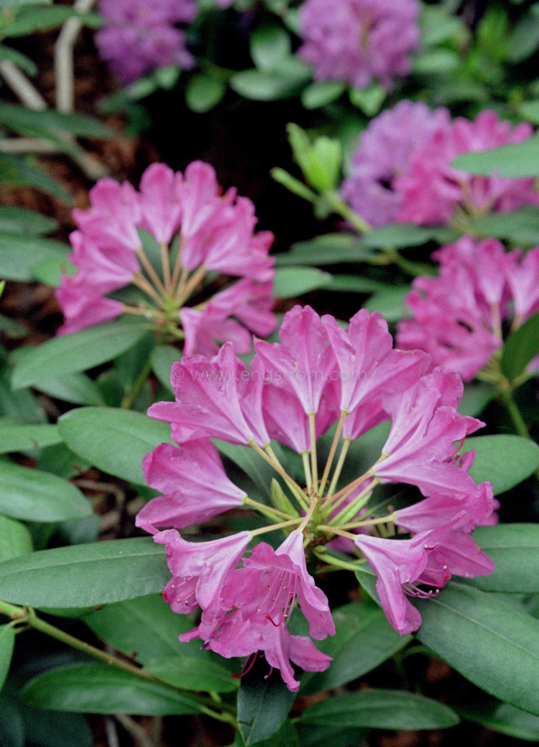 JE0150_2, Lila rhododendron blommar, Jonas Engström