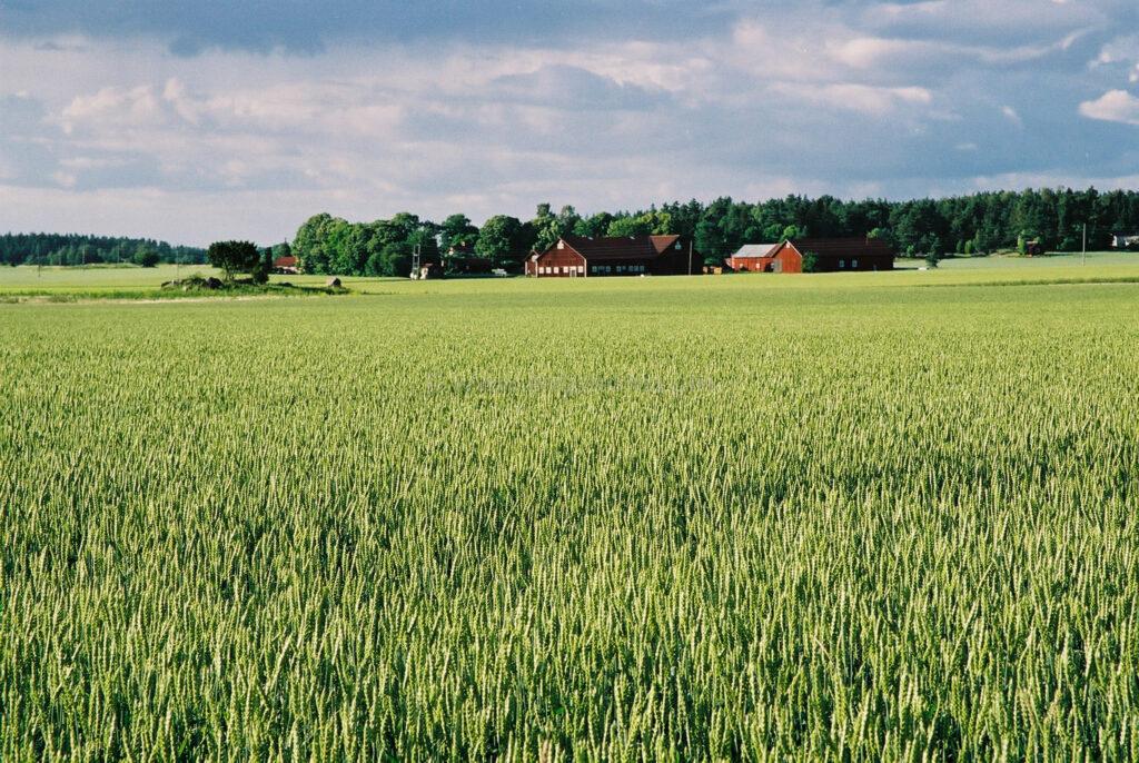 JE0202_02, sädesfält med åskmoln ovanför, Jonas Engström