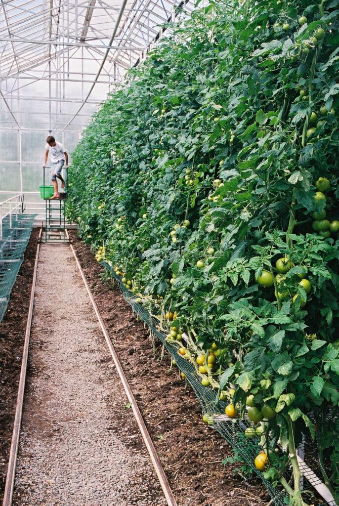JE0203_11, Plockning av tomater, Jonas Engström