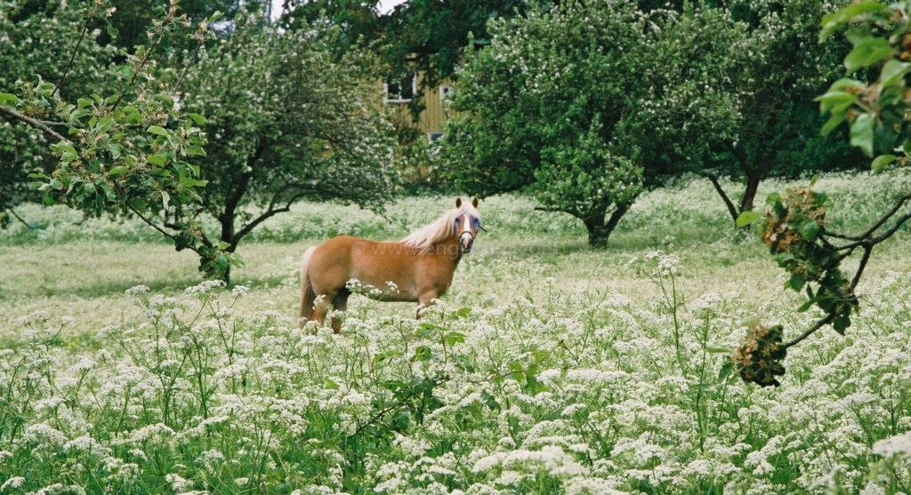 JE0203_31, Häst på bete i fruktträdgård med blomsteräng framför, Jonas Engström