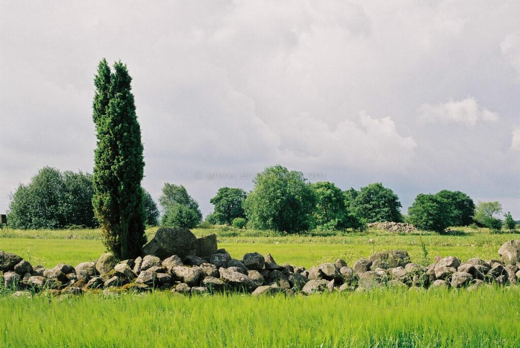 JE0204_16, En och stengärdesgård i åkerlandskap, Skåne sommaren 2002, Jonas Engström