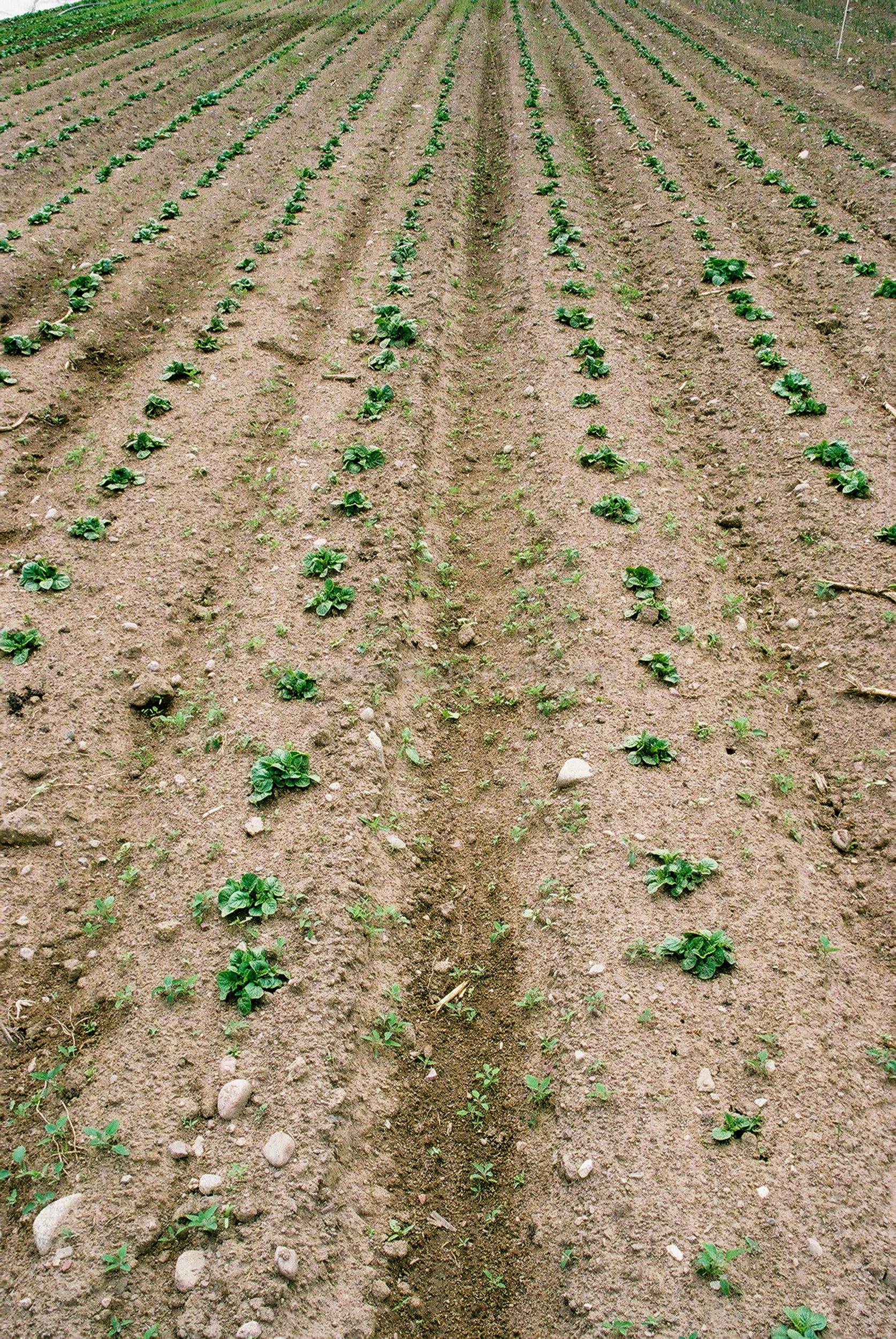 JE0205_15, Potatis våren 2002, Jonas Engström