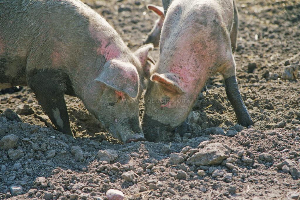 JE0310_27, Ekologiska utegrisar, sommaren 2003, Jonas Engström