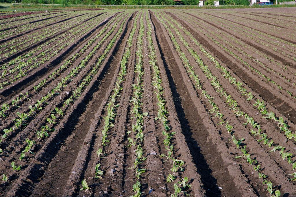 JE0311_21, Frilands grönsaker. Skåne sommaren 2003, Jonas Engström