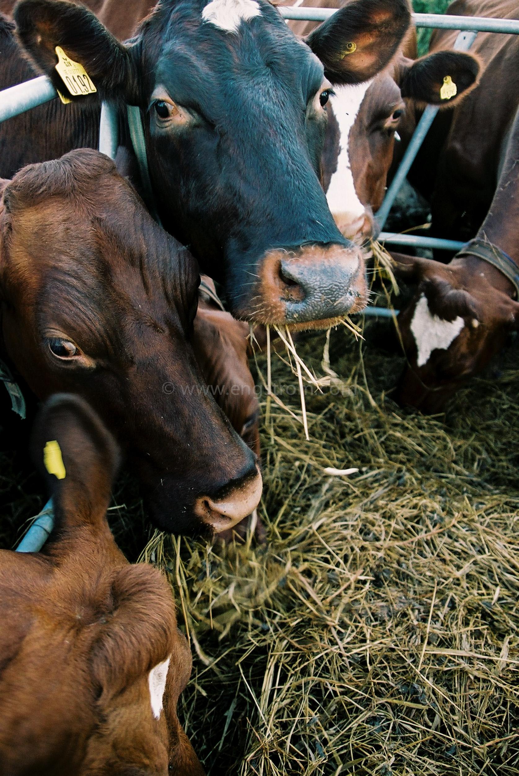 JE0319_15, Kor som äter ensilage ur foderhäck, Jonas Engström