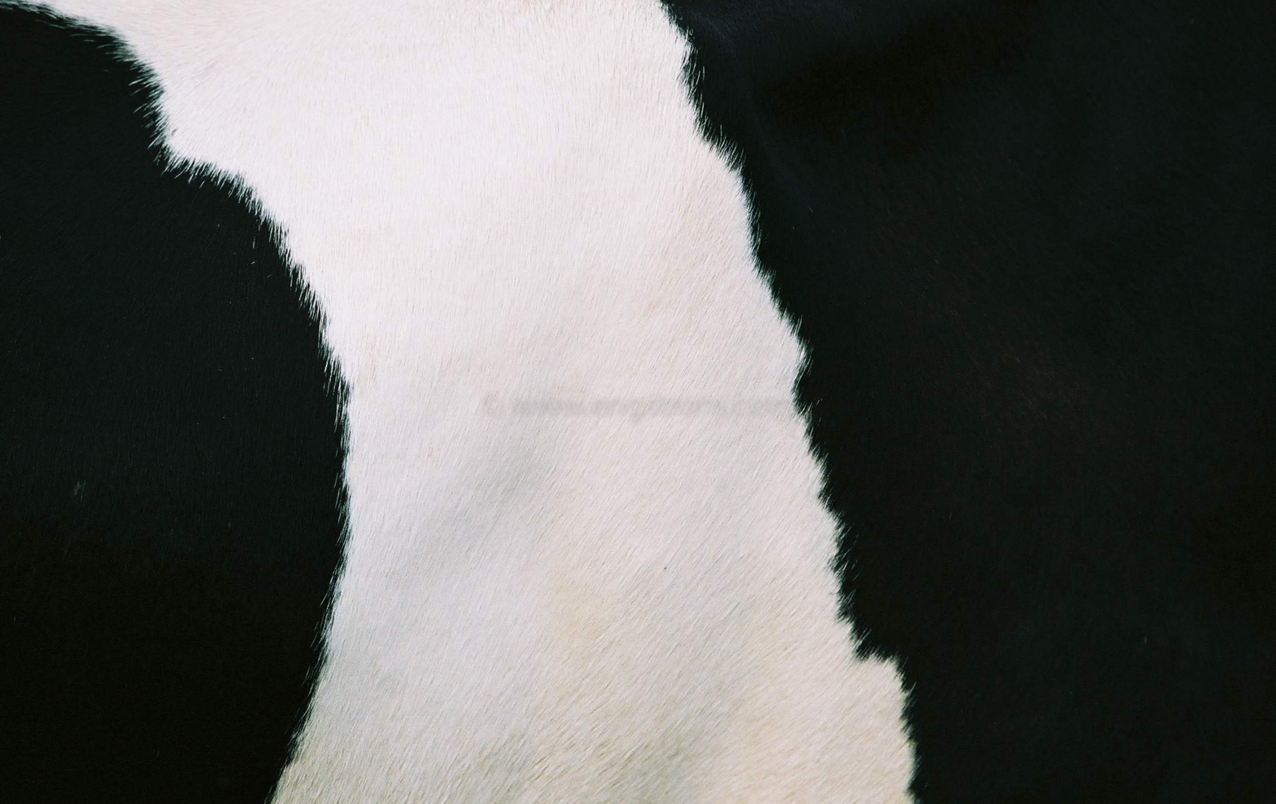 JE0320_12, Svartvitt mönster i päls på ko med svans, Jonas Engström