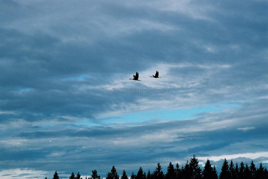 JE0321_30, Tranor flyger mot varmare breddgrader, Jonas Engström