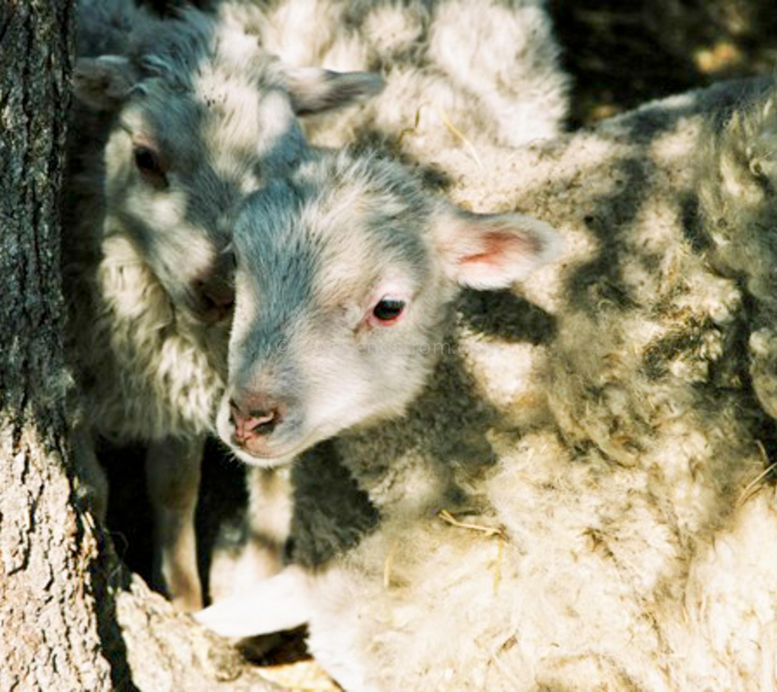 JE0405_26, Nyfödda lamm med tackor, Stocksbo våren 2004, Jonas Engström