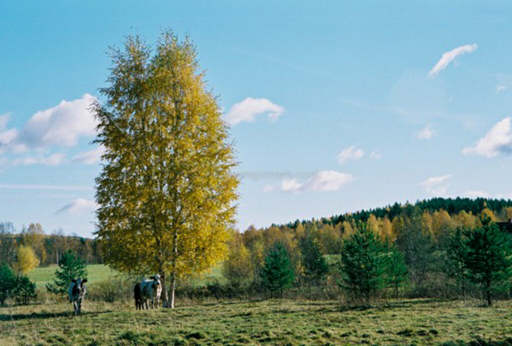 JE0424_076, Ungdjur under björk i höstfärger, Jonas Engström