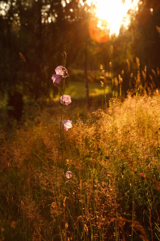 JE_20110707-200951, Blåklocka i solnedgång, Jonas Engström