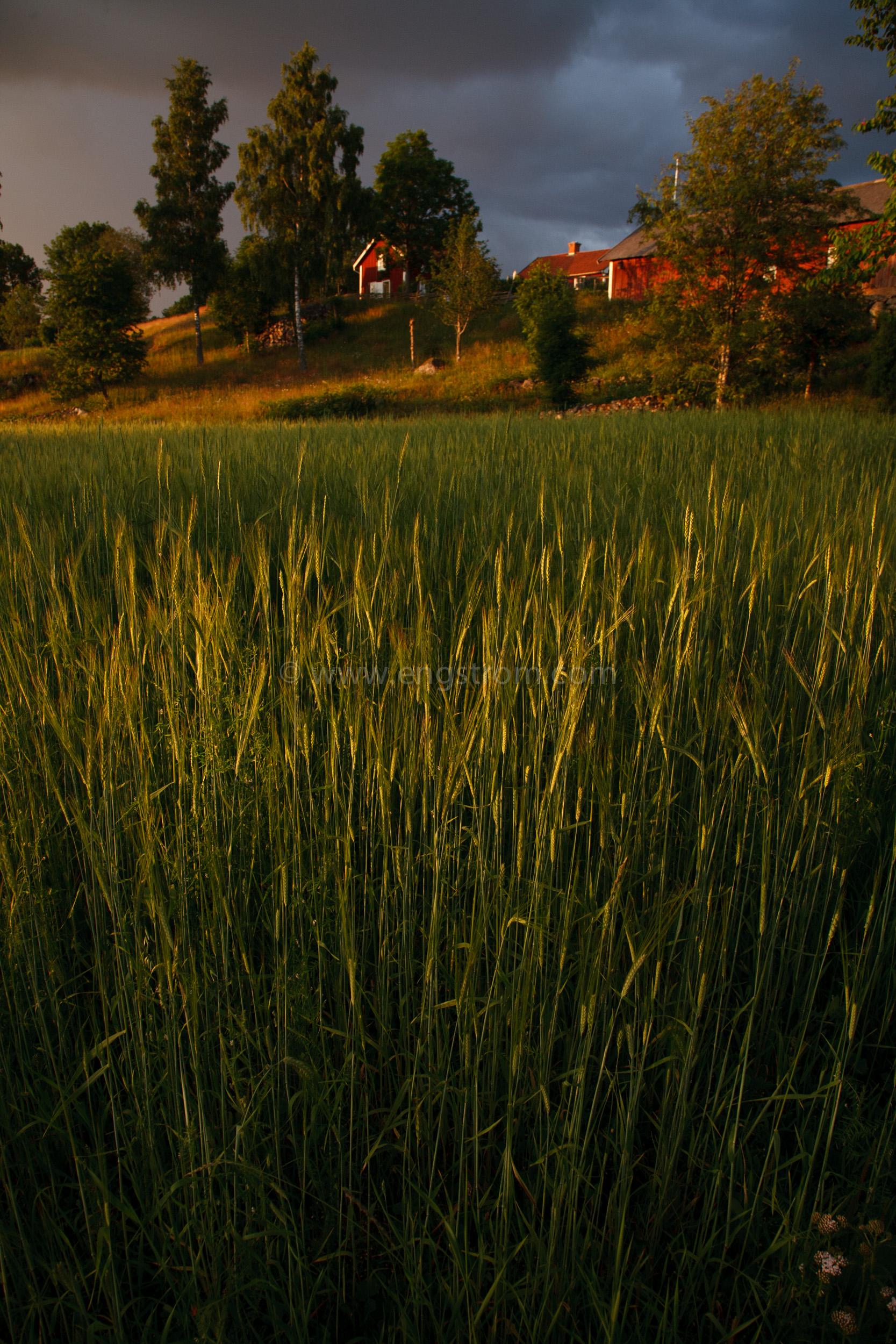 JE_20110707-201353, Korn med gård i bakgrunden, Jonas Engström