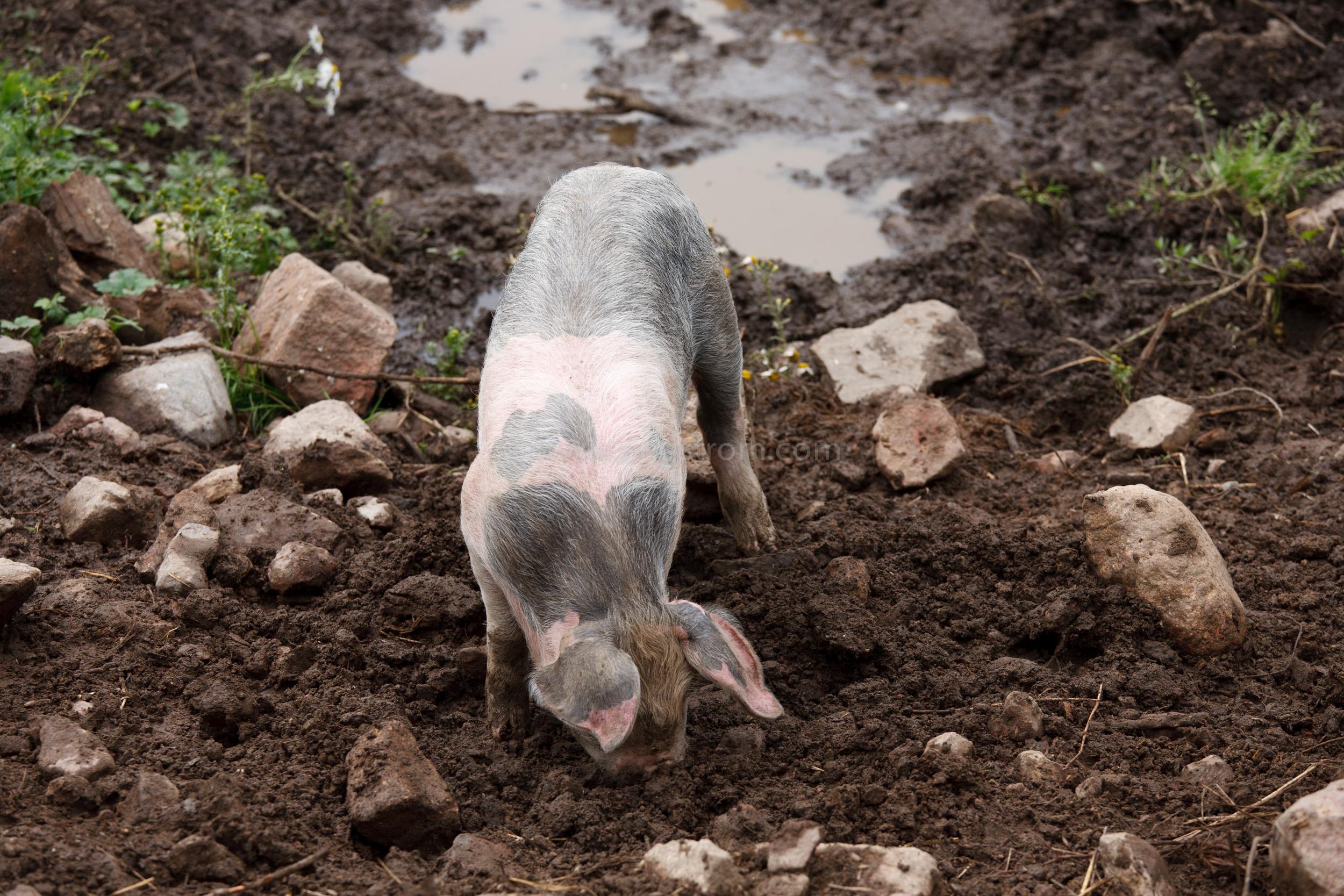 JE_20110708-083344, Bökande ekologisk gris, Jonas Engström