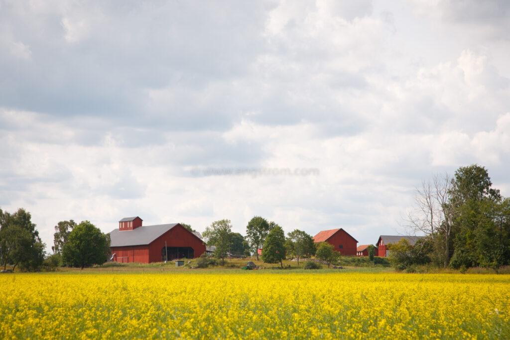 JE_20110720-110022, Blommande oljeväxter med gård bakom, Jonas Engström