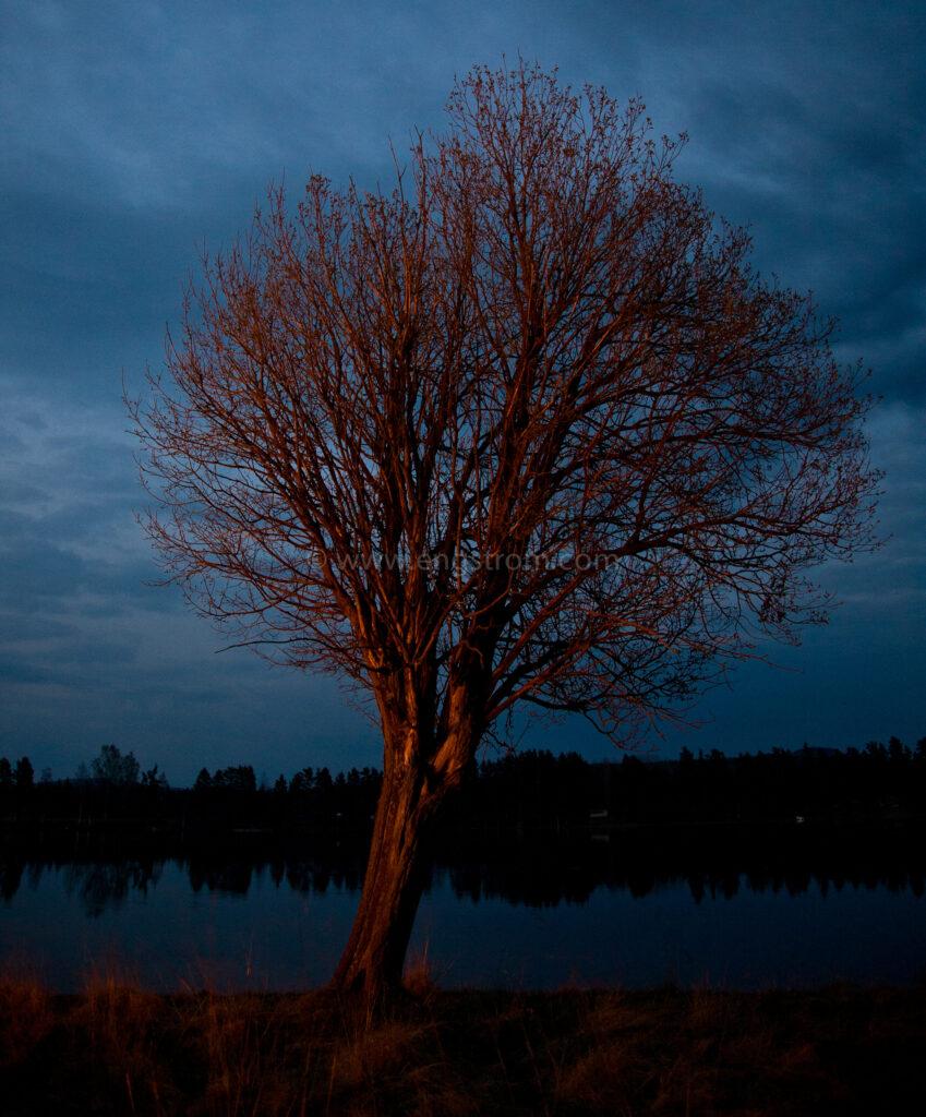 JE_62150, Träd i skenet från majkasa, Jonas Engström