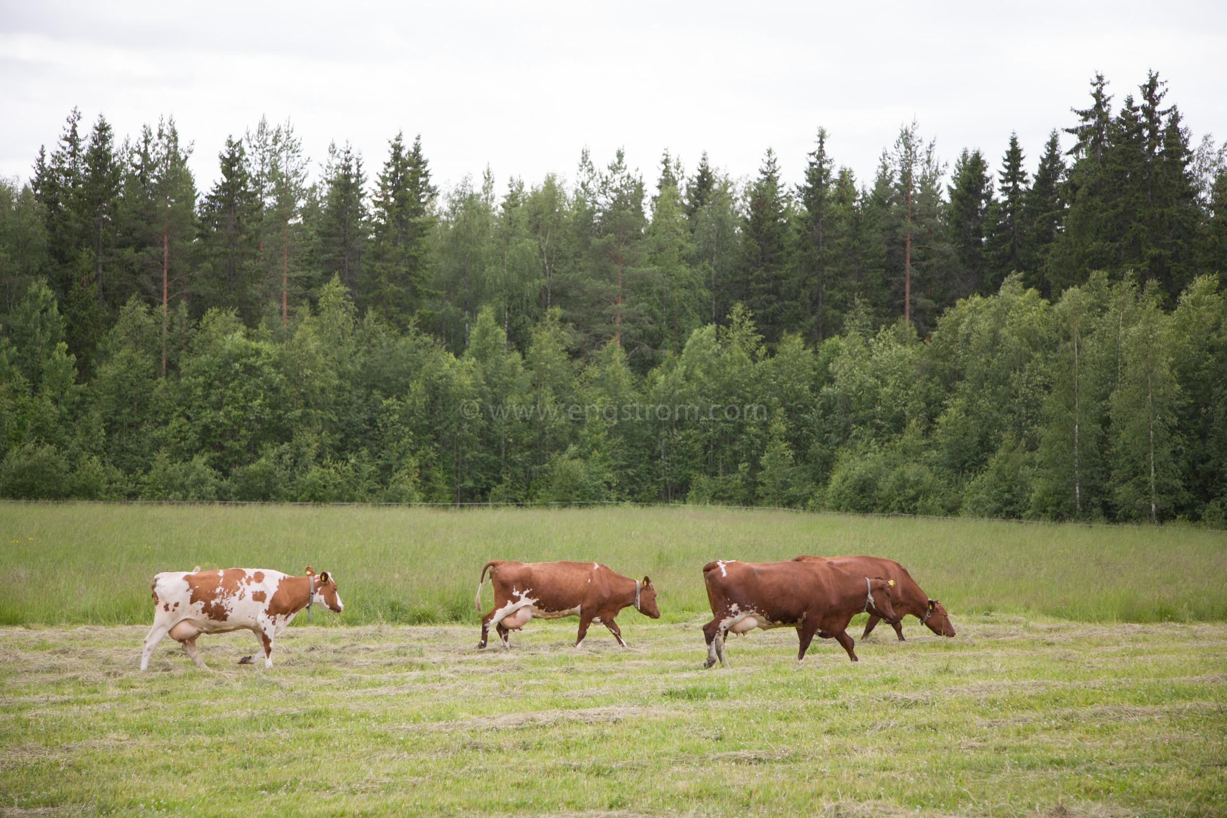 JE_64043, På väg till mjölkning, Jonas Engström