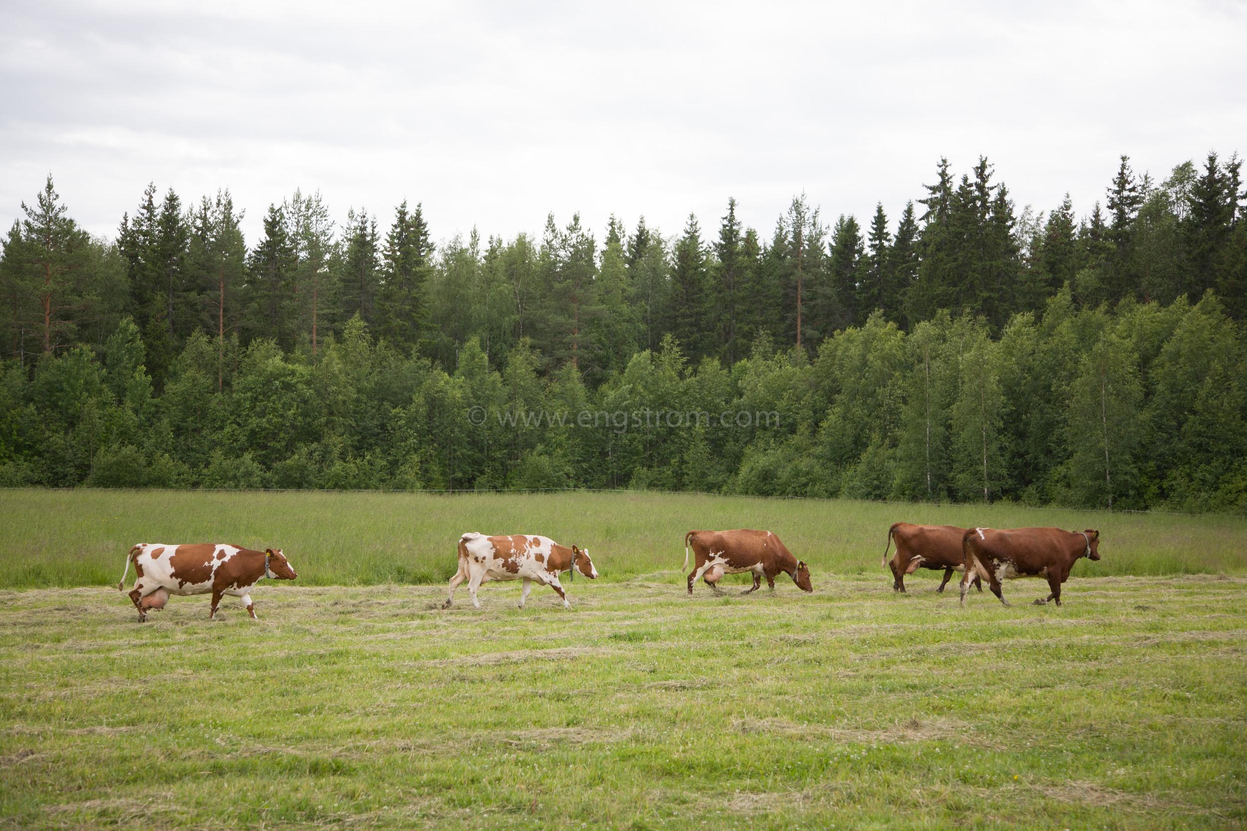 JE_64044, På väg till mjölkning, Jonas Engström