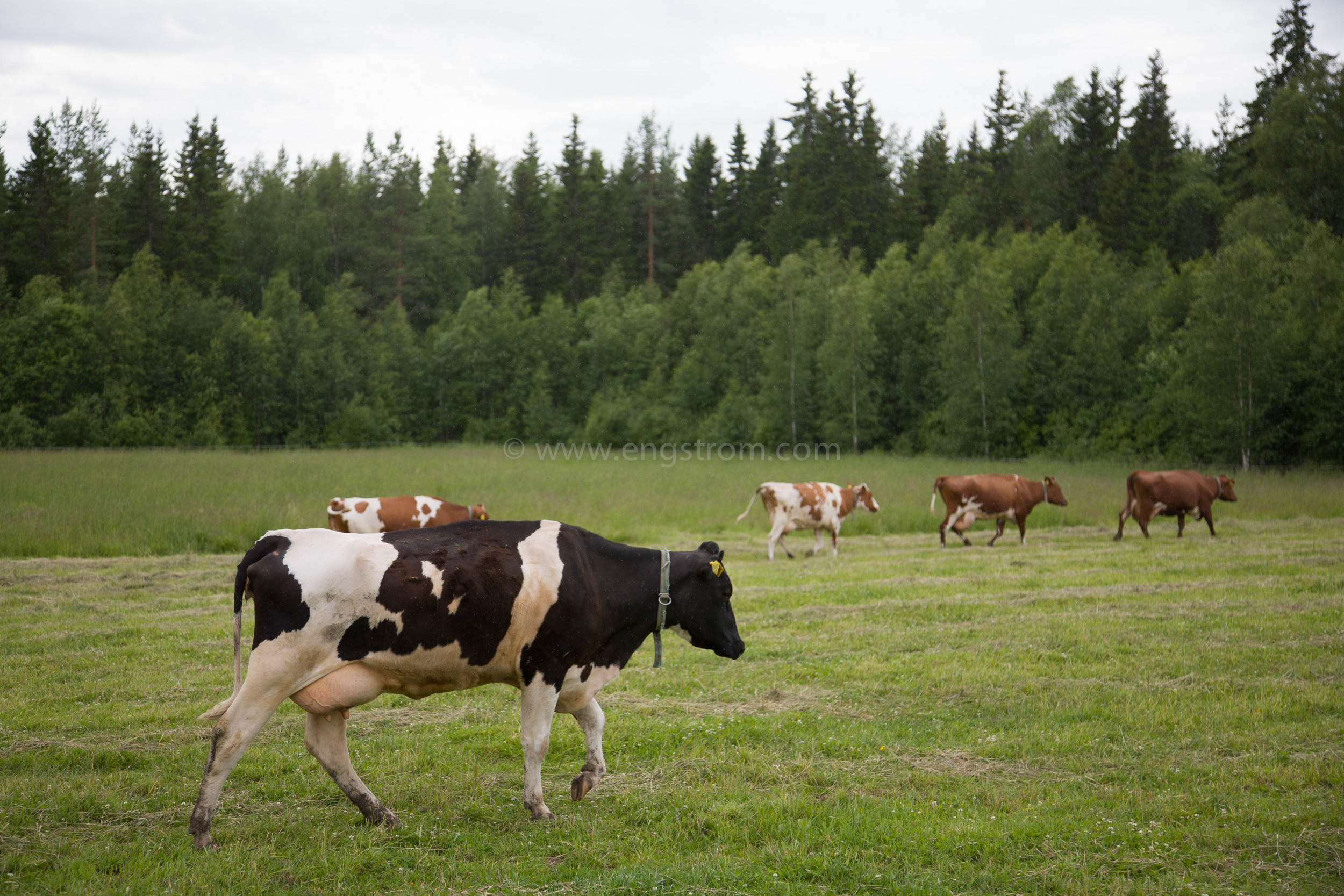 JE_64045, På väg till mjölkning, Jonas Engström