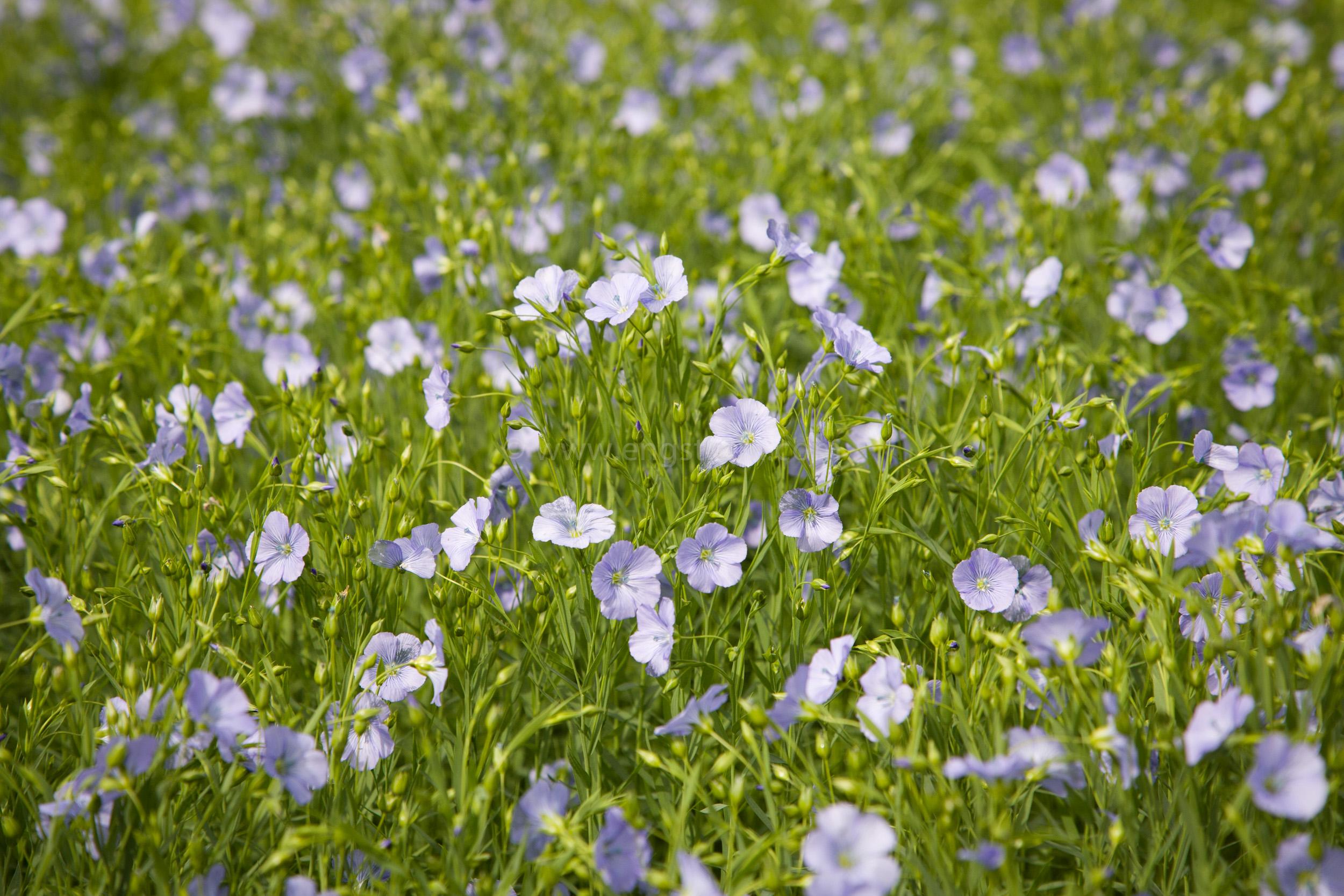 JE_65615, Lin i blom, Jonas Engström