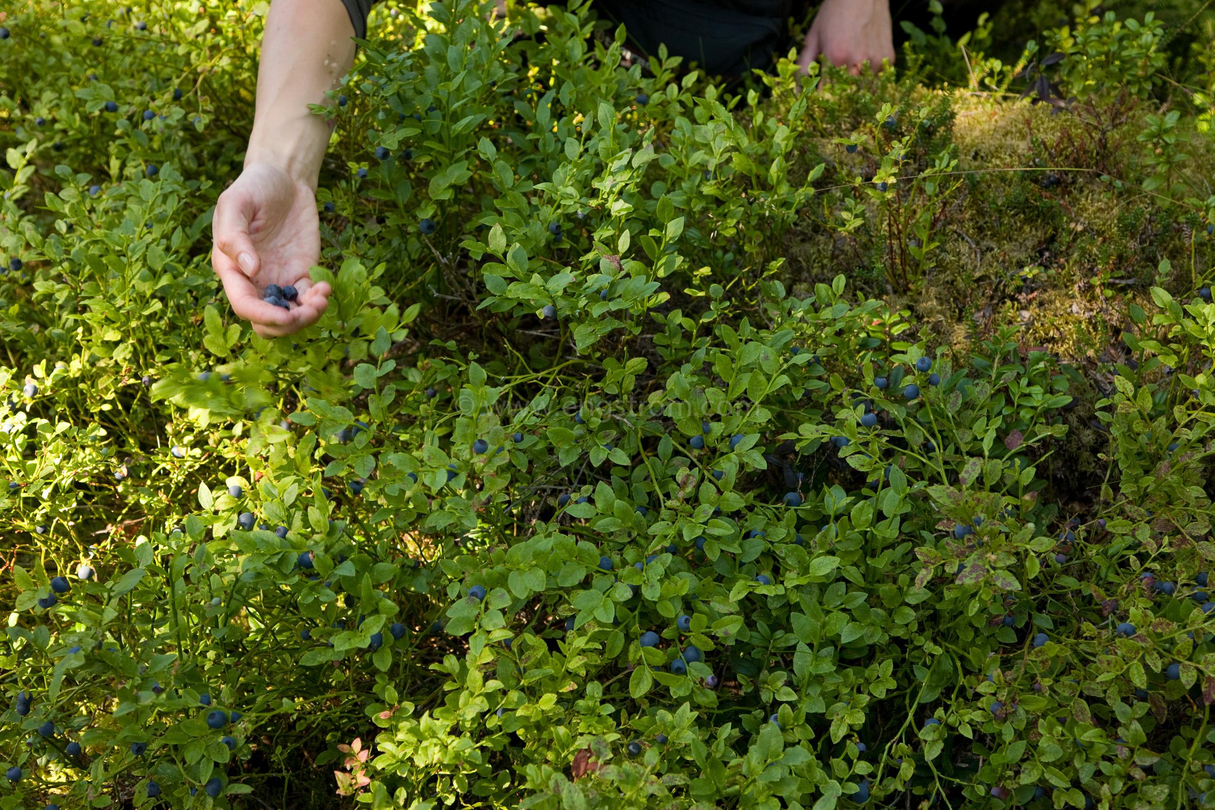 JE_65745, Mycket blåbär, Jonas Engström
