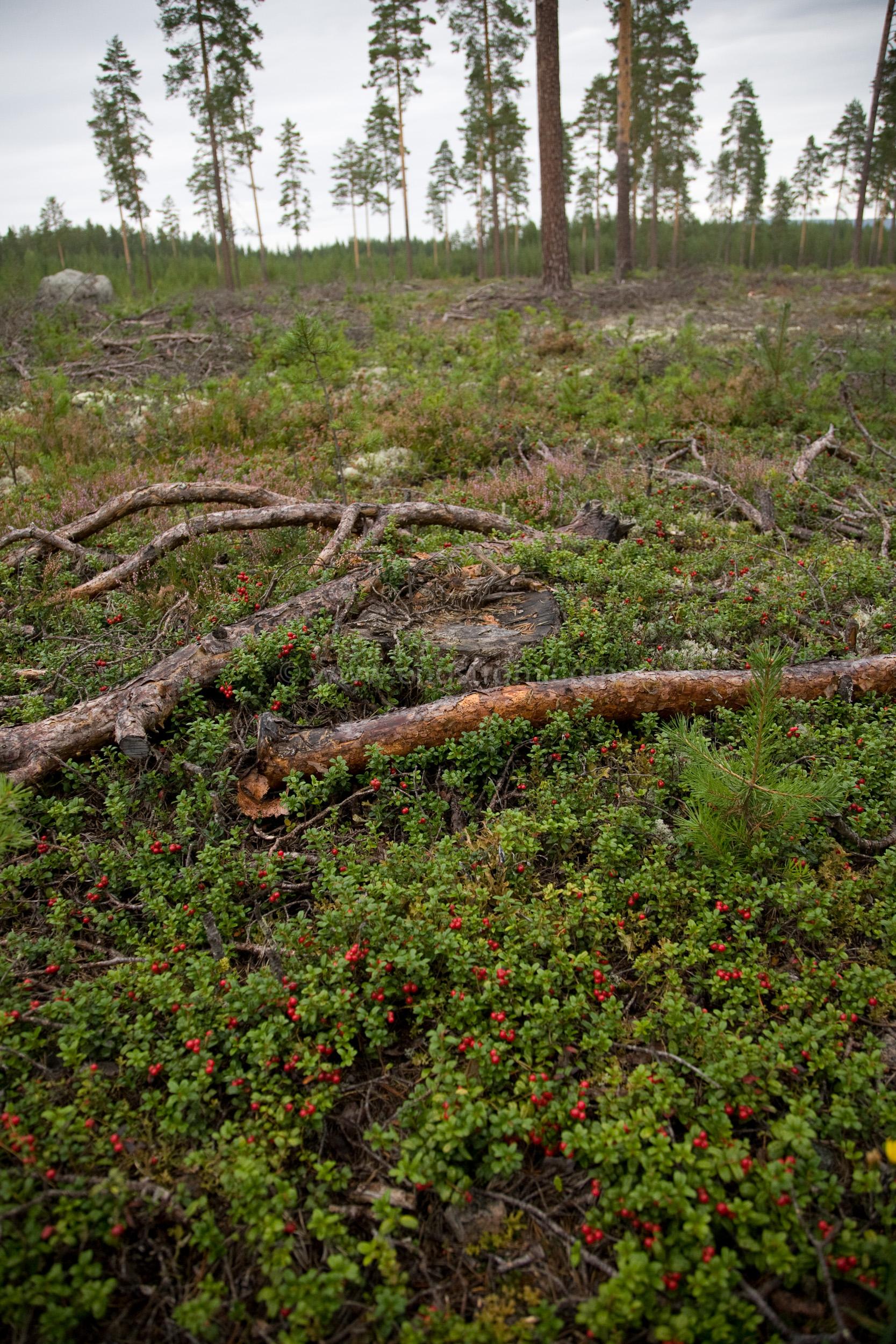 JE_66739, Plockning av lingon, Jonas Engström