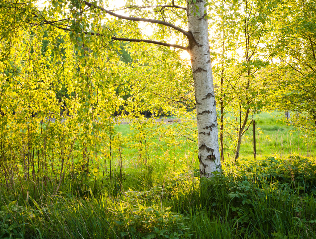 JE_73347, Solen skiner genom de nyutslagna björklöven, Jonas Engström