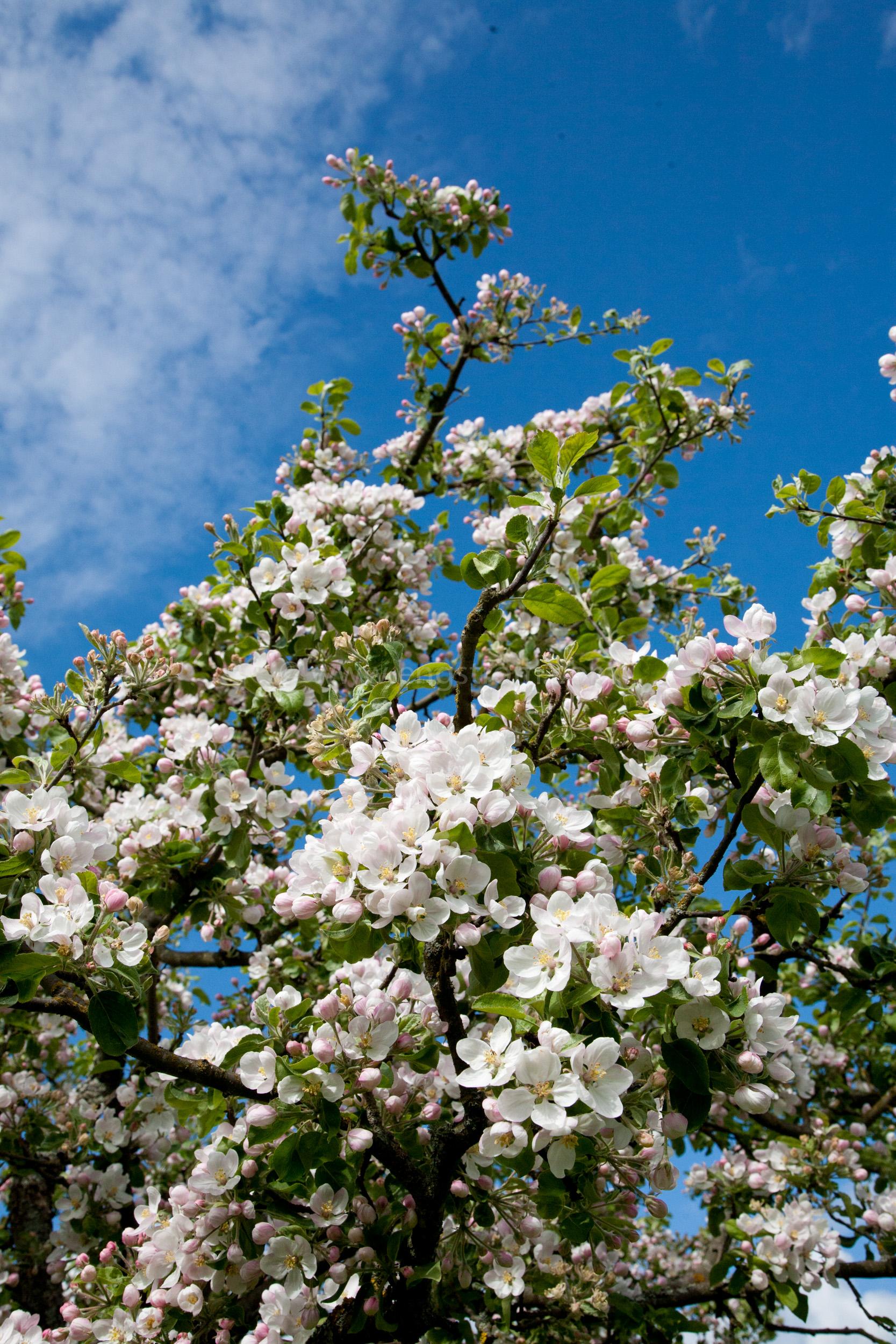 JE_73485, Blommande äppelblom, Jonas Engström
