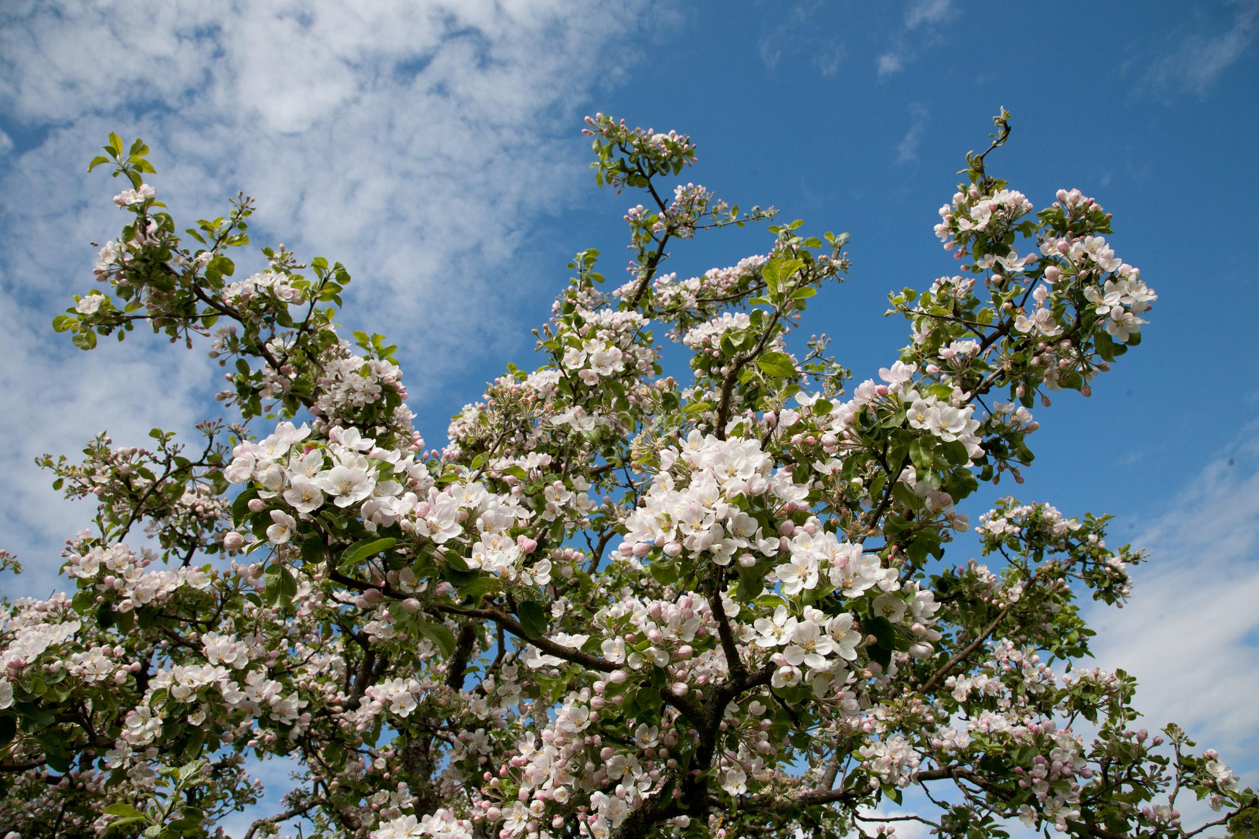 JE_73486, Blommande äppelblom, Jonas Engström