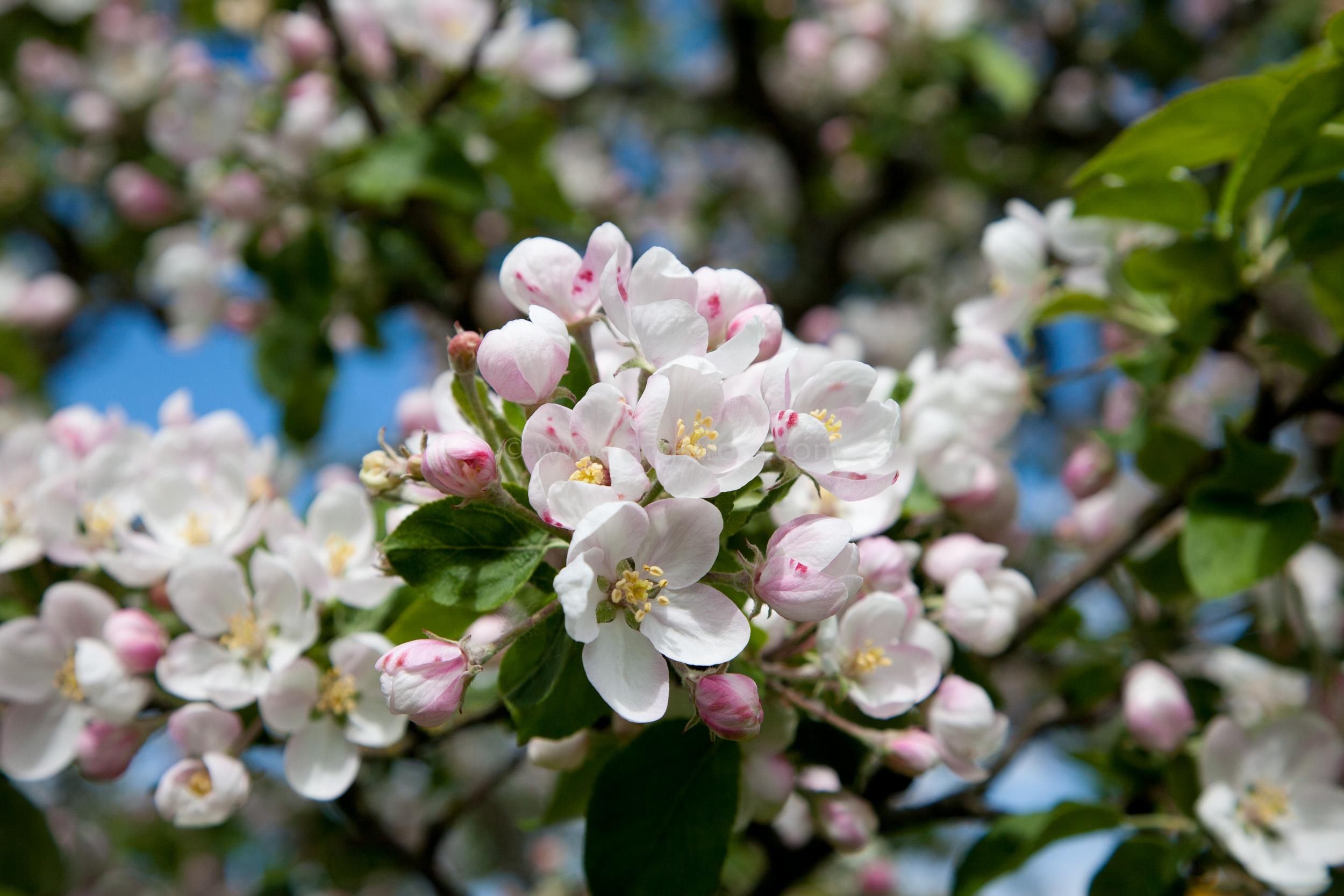 JE_73490, Blommande äppelblom, Jonas Engström