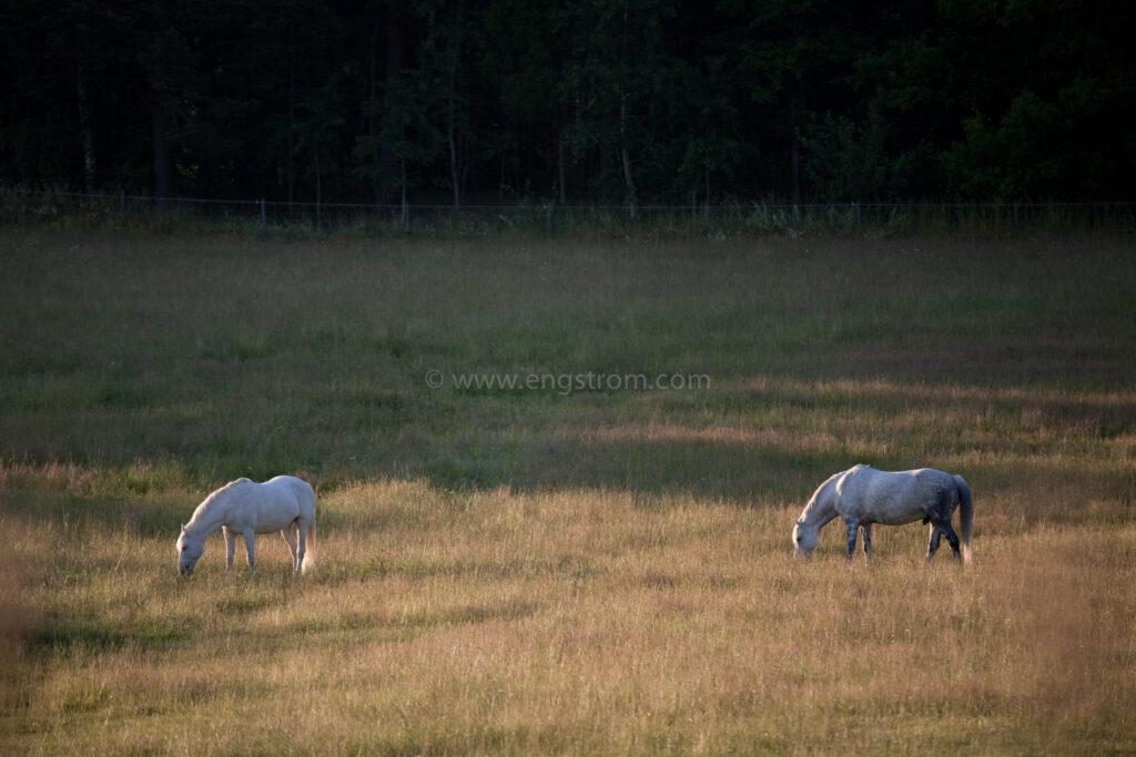 JE_74166, Hästar på sommarbete, Jonas Engström